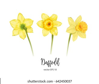 Vector painted flower daffodil. Narcissus. Isolated set on a white background. Beautiful plants. Botany.