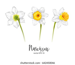 Vector painted flower daffodil. Narcissus. Isolated set on a white background. Beautiful plants. Botany. S