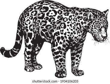 vector panther jaguar wild cats graphic illustration