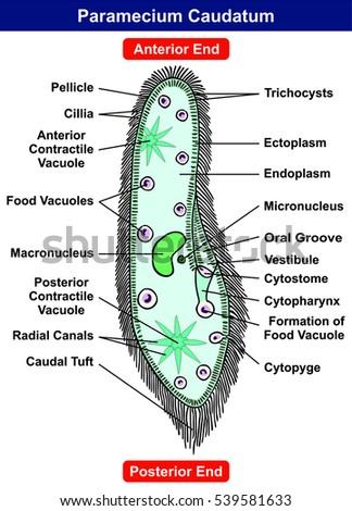 Endoplasm