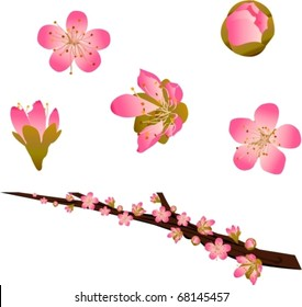 Vector peach blossoms and branch
