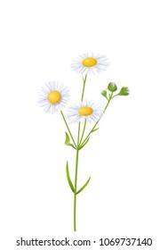 Vector Photo Realistic Botanic Illustration Of White Fleabane