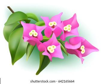 Vector pink bougainvillea branch