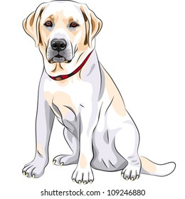 vector portrait of a close-up of serious yellow dog breed Labrador Retriever sits