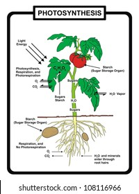 Vector - Process of Photosynthesis