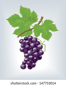 Vector purple grapes