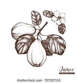 Vector quince vintage sketch. Hand drawn illustration. Engraved fruit drawing. Botanical design template.