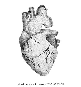 Vector real anatomic heart in black and white colors, hand drawing illustration for print and banners design.
