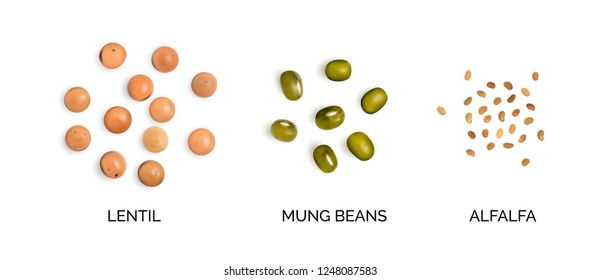 Vector realistic 3d illustration of legumes collection isolated on white background. Edible legume of lentils, mung beans and alfalfa top view