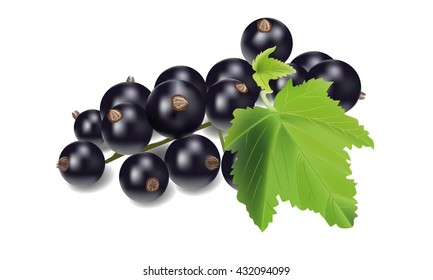Vector realistic black currant with sheets. Black currant isolated on white background.