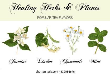 Vector realistic detailed healing herbs and plants set isolated on white background. Design for cosmetics, herbal tea, homeopathy, natural and organic health care products. Most popular tea flavors