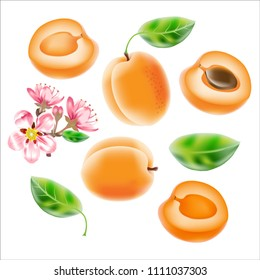 Vector realistic  illustration of an apricot  with a branch of blossoming apricot trees  on the white background.  Design for juice, tea,  cosmetics, menu, healthcare products.