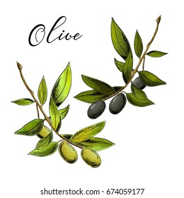 Vector realistic illustration of black and green olive branches isolated on white background.