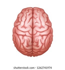 Vector realistic illustration of pink human brain top view close up isolated on white background