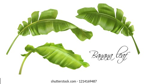 Vector realistic illustration set of tropical banana leaves isolated on white. Exotic botanical design element for cosmetics, spa, perfume, fashion. Can be used as hawaiian style design element
