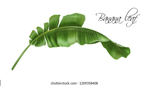 Vector realistic illustration of tropical banana leaf isolated on white background. Exotic design element for cosmetics, spa, perfume, fashion. Can be used as hawaiian style design element