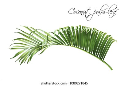 Vector realistic illustration of tropical coconut leaf isolated on white background. Exotic design element for cosmetics, spa, perfume, fashion. Can be used as hawaiian style design element