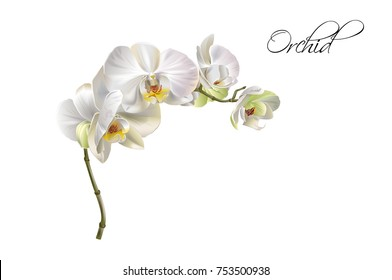 Vector realistic illustration of white orchid flowers on isolated on white background. Floral tropical design element for cosmetics, perfume, beauty care products.