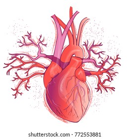 Vector realistic red human heart, internal organ.  Anatomy concept.