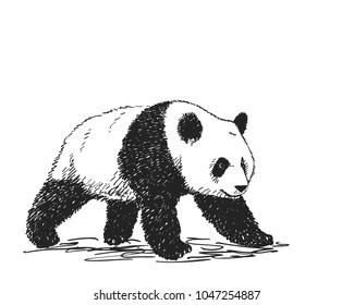 Vector realistic sketch of Panda figure in full-length, Hand drawn illustration