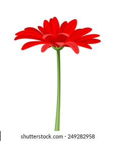 Vector red gerbera flower with stem isolated on a white background.