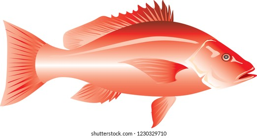 Vector - Red Snapper, Marine Fish