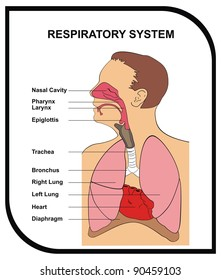 Respiratory system images stock photos vectors shutterstock vector respiratory system ccuart Choice Image