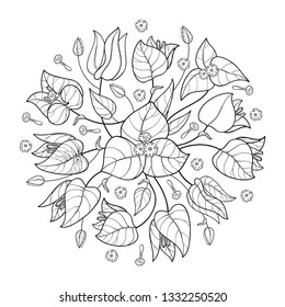 Vector round bouquet of outline Bougainvillea or Buganvilla flower bunch with bud and leaf in black isolated on white background. Exotic ornate Bougainvillea in contour for summer coloring book.