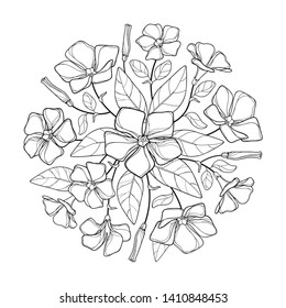 Vector round bouquet of outline Periwinkle or Vinca flower bunch and ornate leaves in black isolated on white background. Contour ornamental groundcover plant Periwinkle for summer coloring book.