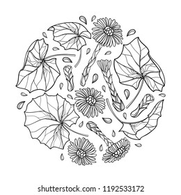 Vector round bunch with outline Tussilago farfara or coltsfoot with leaves and flower in black isolated on white background. Contour medicinal plant coltsfoot for herbal design or coloring book.