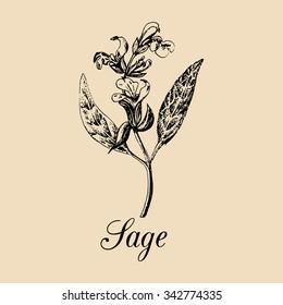 Vector Sage illustration. Hand drawn Salvia branch sketch. Culinary plant background. Officinalis, medicinal, cosmetic herb logo.