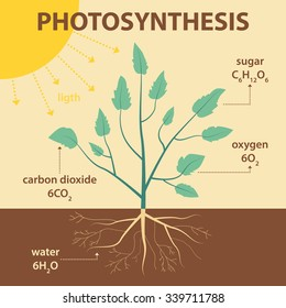 vector schematic illustration showing photosynthesis of plant - agricultural infographic biology scheme with labels for education