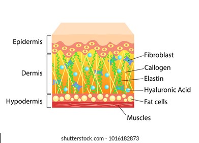 Vector scheme of skin, for cosmetological and healthcare illustrations