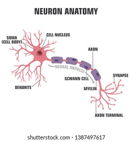 Vector scientific icon neuron structure. Description of the anatomy of the neuron of the brain. Illustration of the structure of a neuron in a flat minimalism style.