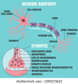 Vector scientific icon structure of neuron and synapse. Description of the anatomy of the neuron of the brain and synapse. Illustration of the structure of a neuron and synapse in a flat minimalism s