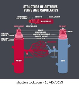 Vector scientific medical icon structure of veins, arteries and capillaries. On the cut in the context of the veins and arteries. Illustration of the structure of vein and arteries in flat style