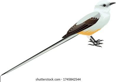 vector Scissor tailed Flycatcher illustration