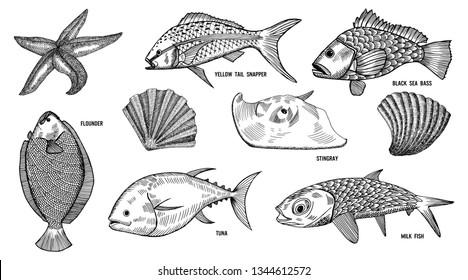 Vector Sea life background. Hand drawn fish, tuna, black sea bass, milk fish, yellow tail snapper, stingray, flounder, starfish, shellfish sketch. Vintage nautical pattern.