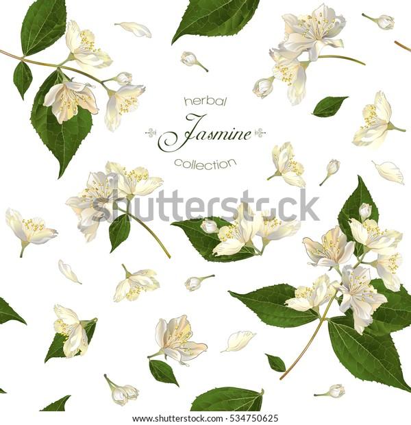 Векторный бесшовный рисунок с цветами жасмина на белом. Дизайн для травяного чая, продуктов здравоохранения, натуральной косметики, эфирного масла. Может использоваться в качестве свадебного фона. Лучше всего подходит для оберточной бумаги.