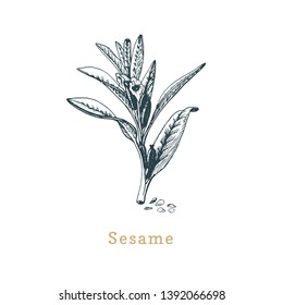 Vector Sesame sketch. Drawn spice herb in engraving style. Botanical illustration of organic, eco plant. Used for farm sticker, shop label etc.