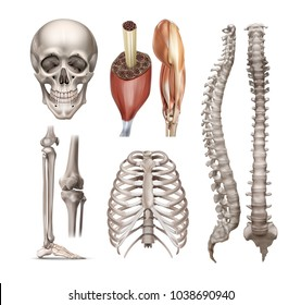 Vector set of anatomy realistic human bones, skeleton, foot, skull, spine, ribs, structure, joints and muscles. Isolated on white background