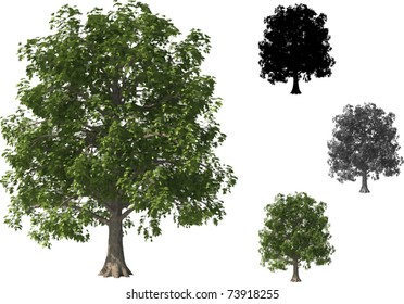 Vector set of Beech Trees