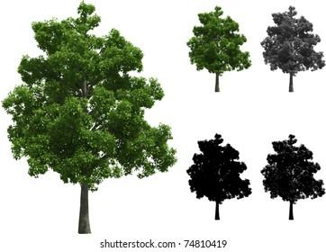 Vector set of Beech trees