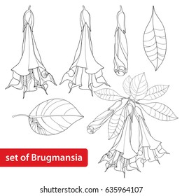 Vector set with Brugmansia arborea or Angels Trumpets, flower, bud and leaves isolated on white background. Floral elements in contour style with Brugmansia for summer design and coloring book.