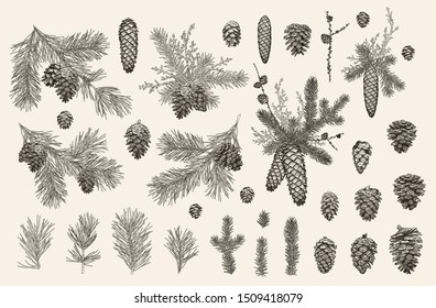 Vector set with Christmas plants. Botanical illustration. Branch of spruce, pine, boxwood, cones. Isolated design elements .