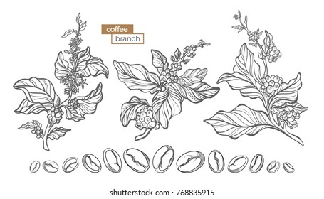 Vector set of coffee tree branches with flower, leaves and beans. Botanical drawing, sketch. Line art design. Realistic nature style. Organic illustration. Big collection isolated on white background.