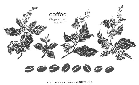 Vector set of coffee tree branches with flower, leaves and beans. Botanical drawing, sketch. Shape art design. Realistic nature illustration. Organic drink  Big collection isolated on white background