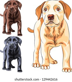 vector set cute puppy dog breed Labrador Retriever of different colors: chocolate, yellow and black