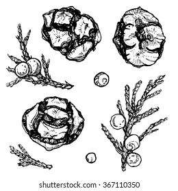 Vector set of cypress cones, juniper branches with berries. Ink drawn decorative plants for design