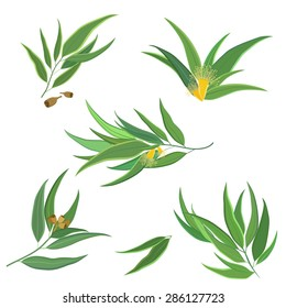Vector set of eucalyptus leaves, twigs, branches with flowers and seed pods isolated on white. Perfect for website design, digital scrapbook, packaging or card design.